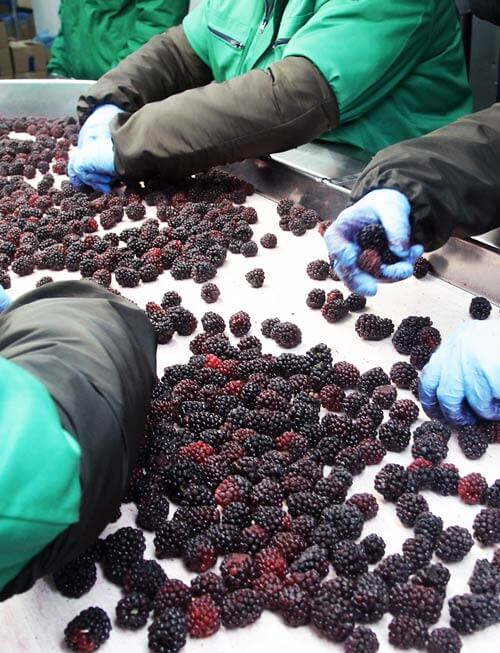 berry workers